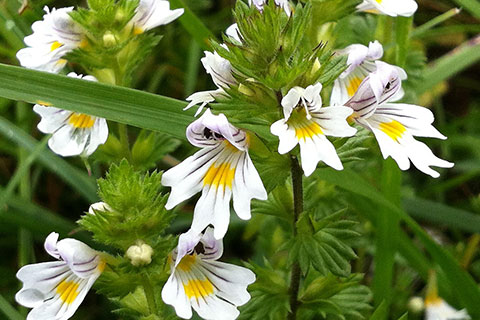 Kräuter und Heilpflanzen Ausbildung Euphrasia Officinalis / gewöhnlicher Augentrost